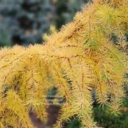 Лиственница японская Кертис Уорчард (Curtis Worchard) ФОТО Питомник растений Природа (8)