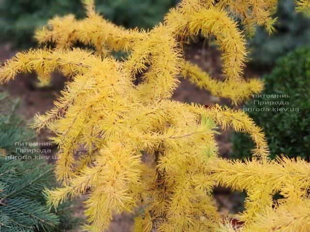 Лиственница японская Кертис Уорчард (Curtis Worchard) ФОТО Питомник растений Природа (9)
