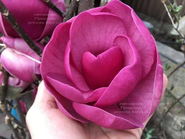 Магнолия Блэк Тюлип (Magnolia Black Tulip) ФОТО Питомник растений Природа (31)