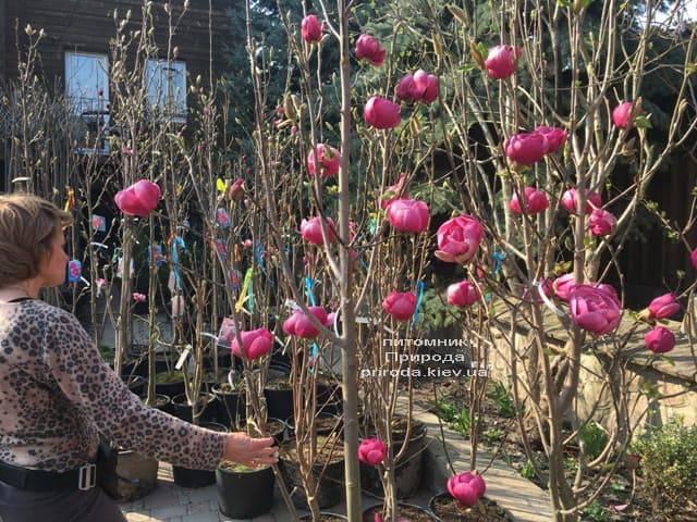 Магнолия Блэк Тюлип (Magnolia Black Tulip) ФОТО Питомник растений Природа (33)