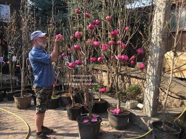 Магнолия Блэк Тюлип (Magnolia Black Tulip) ФОТО Питомник растений Природа (34)