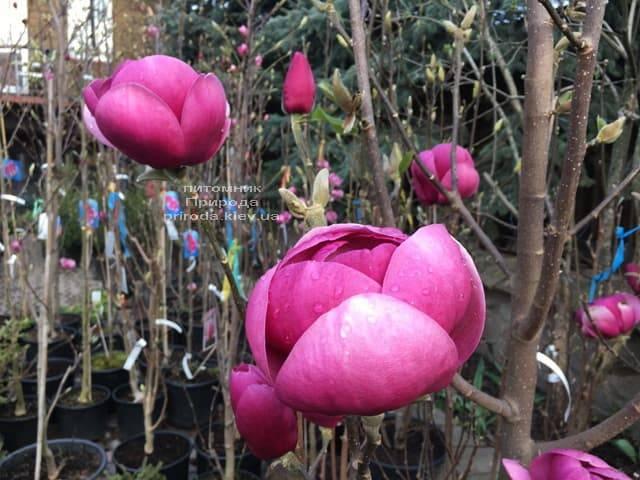 Магнолия Блэк Тюлип (Magnolia Black Tulip) ФОТО Питомник растений Природа (35)