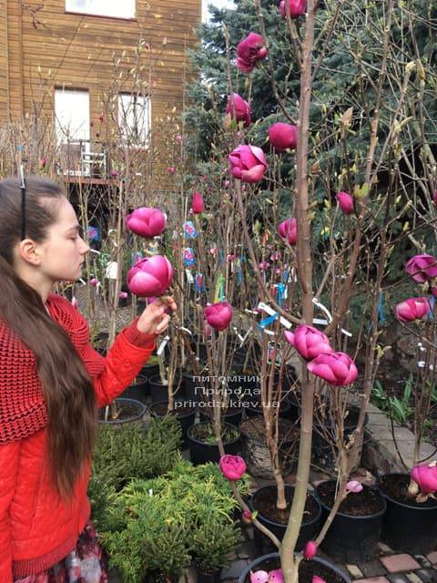 Магнолия Блэк Тюлип (Magnolia Black Tulip) ФОТО Питомник растений Природа (36)