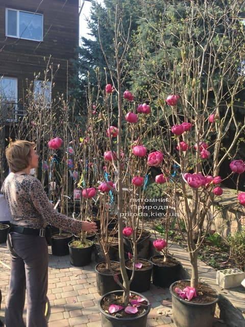 Магнолія Блек Тюліп (Magnolia Black Tulip) ФОТО Розплідник рослин Природа (43)