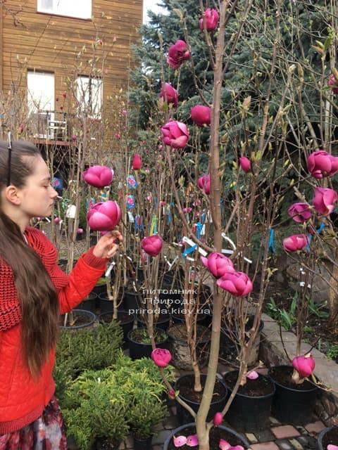 Магнолія Блек Тюліп (Magnolia Black Tulip) ФОТО Розплідник рослин Природа (44)