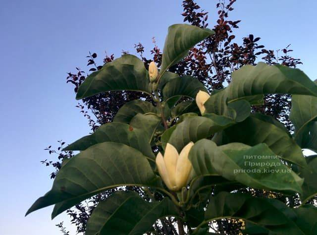 Магнолия бруклинская Еллоу Берд (Magnolia brooklynensis Yellow Bird) ФОТО Питомник растений Природа (11)