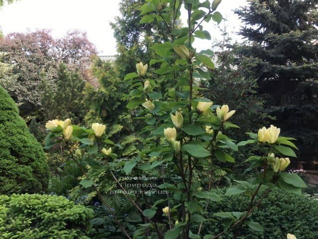 Магнолія бруклінська Еллоу Берд (Magnolia brooklynensis Yellow Bird) ФОТО Розплідник рослин Природа (6)