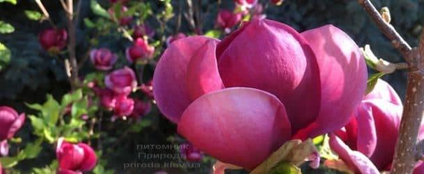 Магнолия Джени (Magnolia Genie) ФОТО Питомник растений Природа (12)