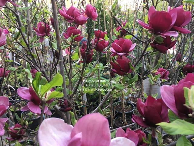 Магнолія Джені (Magnolia Genie) ФОТО Розплідник рослин Природа (21)