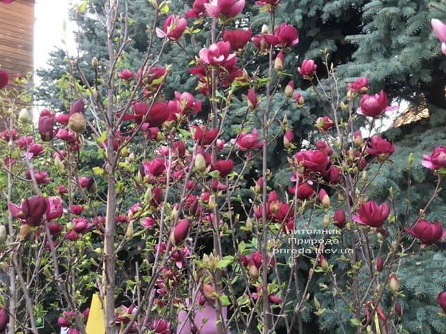 Магнолія Джені (Magnolia Genie) ФОТО Розплідник рослин Природа (22)