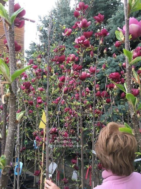 Магнолія Джені (Magnolia Genie) ФОТО Розплідник рослин Природа (23)