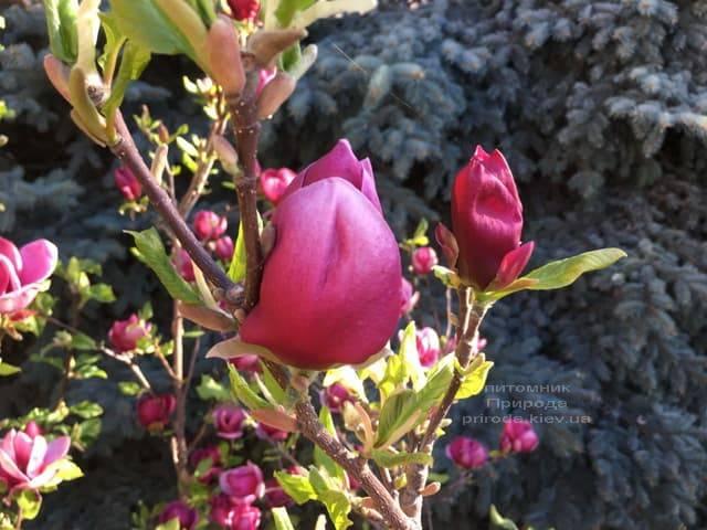 Магнолія Джені (Magnolia Genie) ФОТО Розплідник рослин Природа (24)
