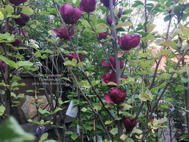 Магнолія Джені (Magnolia Genie) ФОТО Розплідник рослин Природа (25)