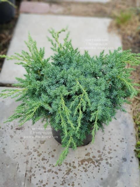 Ялівець лускатий Блю Карпет (Juniperus squamata Blue Carpet) ФОТО Розплідник рослин Природа (1)
