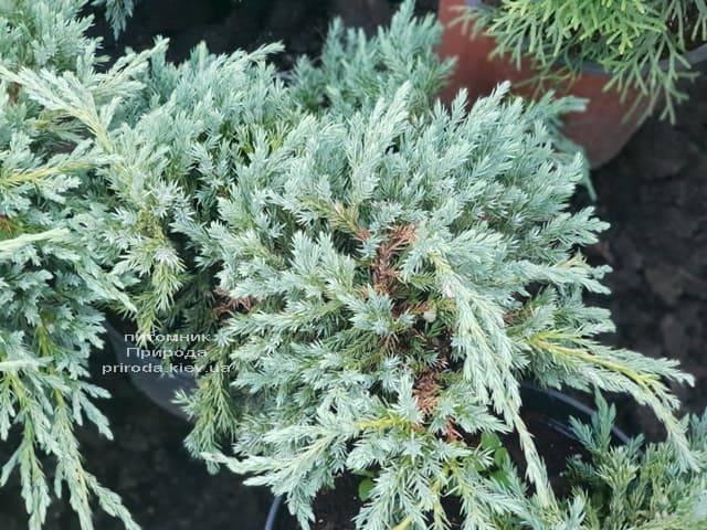 Можжевельник чешуйчатый Блю Карпет (Juniperus squamata Blue Carpet) ФОТО Питомник растений Природа (11)