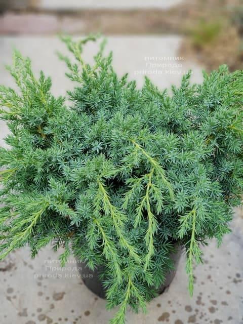 Можжевельник чешуйчатый Блю Карпет (Juniperus squamata Blue Carpet) ФОТО Питомник растений Природа (4)