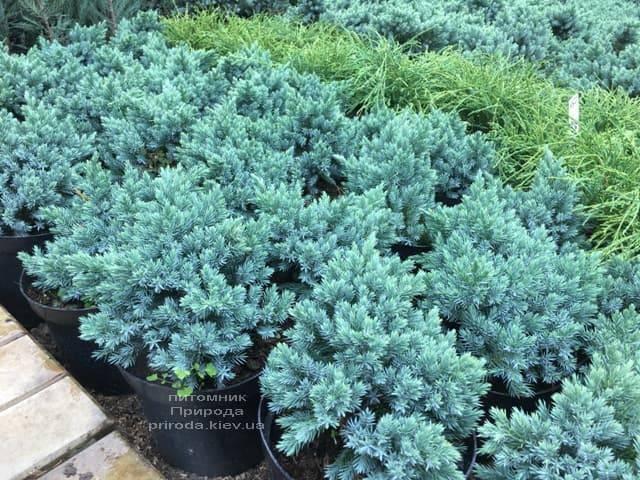 Ялівець лускатий Блю Стар (Juniperus squamata Blue Star) ФОТО Розплідник рослин Природа (2)