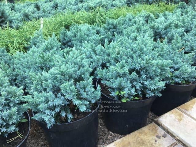 Ялівець лускатий Блю Стар (Juniperus squamata Blue Star) ФОТО Розплідник рослин Природа (3)