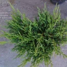 Можжевельник горизонтальный Андорра Компакт (Juniperus horizontalis Andorra Compact) ФОТО Питомник растений Природа (1)