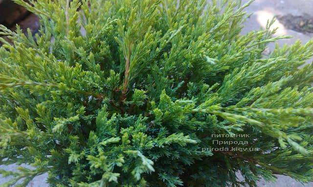 Ялівець горизонтальний Андорра Компакт (Juniperus horizontalis Andorra Compact) ФОТО Розплідник рослин Природа (3)