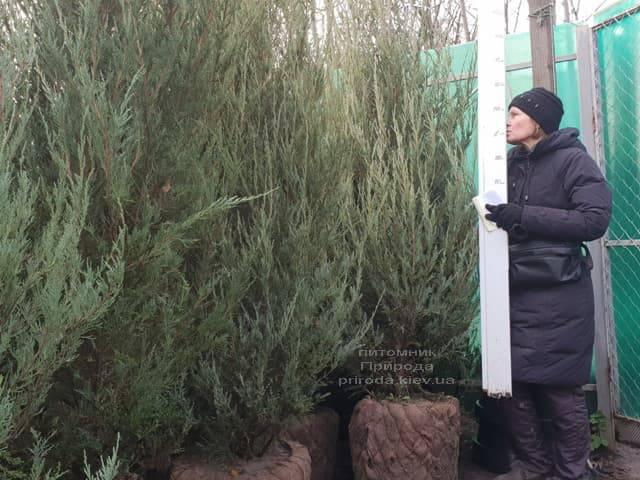 Ялівець скельний Скайрокет (Juniperus scopulorum Skyrocket) ФОТО Розплідник рослин Природа (22)