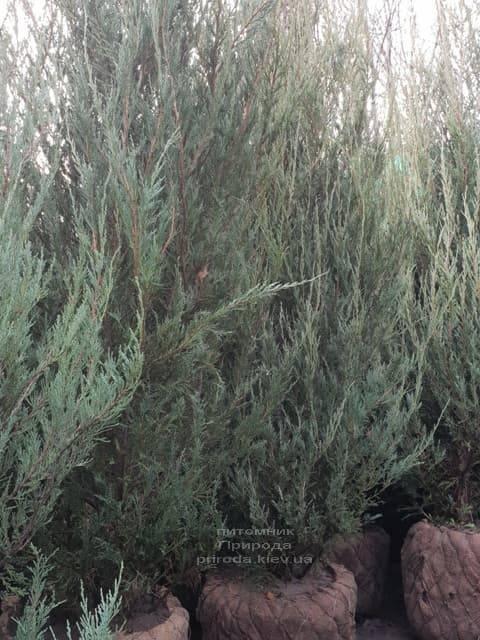 Ялівець скельний Скайрокет (Juniperus scopulorum Skyrocket) ФОТО Розплідник рослин Природа (23)