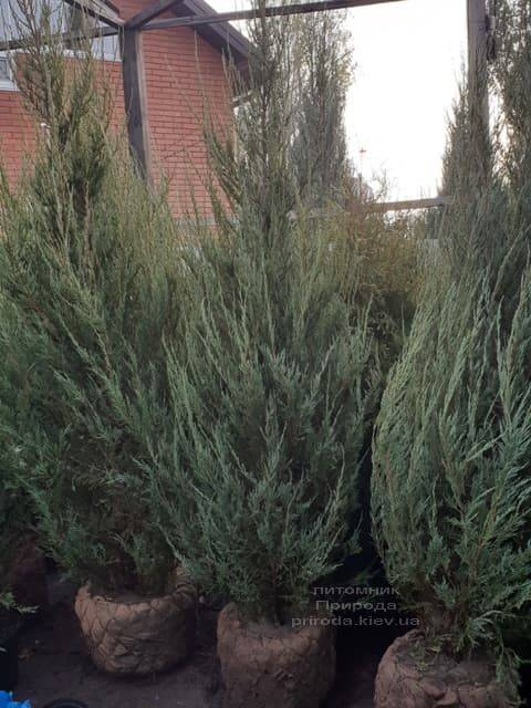 Ялівець скельний Скайрокет (Juniperus scopulorum Skyrocket) ФОТО Розплідник рослин Природа (24)