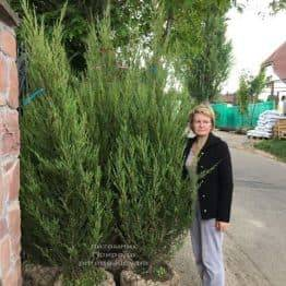 Ялівець скельний Скайрокет (Juniperus scopulorum Skyrocket) ФОТО Розплідник рослин Природа (25)