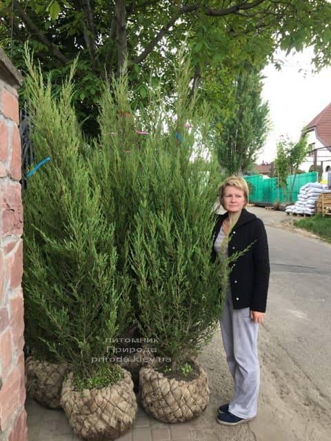Можжевельник скальный Скайрокет (Juniperus scopulorum Skyrocket) ФОТО Питомник растений Природа (25)