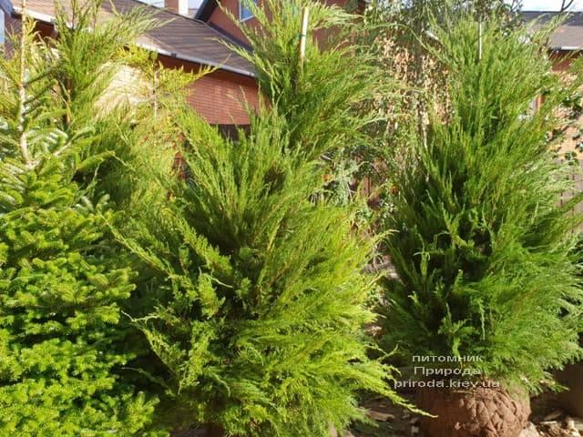 Можжевельник средний / пфитцериана Минт Джулеп (Juniperus media / pfitzeriana Mint Julep) ФОТО Питомник растений Природа (7)