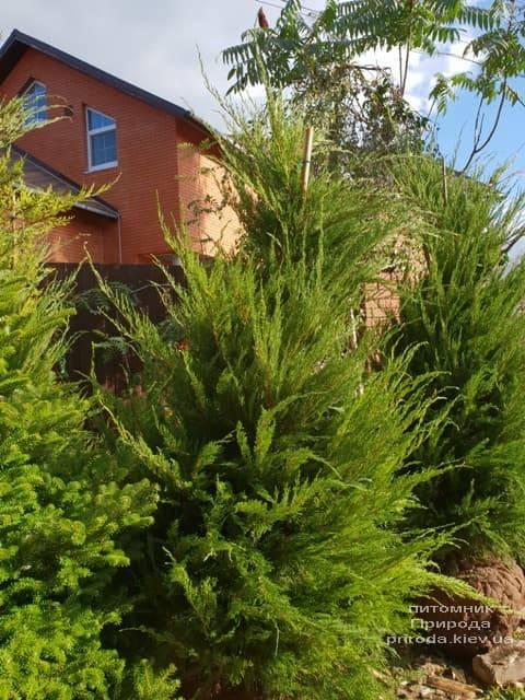 Можжевельник средний / пфитцериана Минт Джулеп (Juniperus media / pfitzeriana Mint Julep) ФОТО Питомник растений Природа (8)