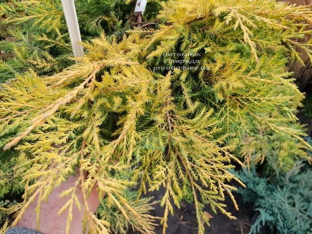 Можжевельник средний / пфитцериана Голд Стар (Juniperus media / pfitzeriana Gold Star) ФОТО Питомник растений Природа (2)