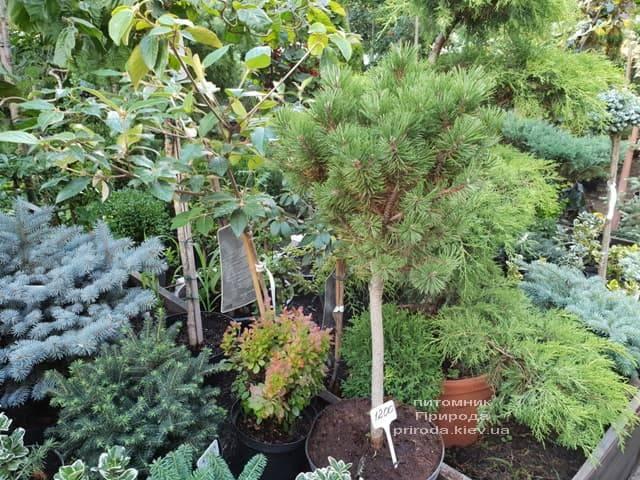 Хвойні і вічнозелені рослини ФОТО Розплідник рослин Природа (10)