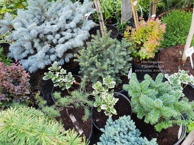 Хвойні і вічнозелені рослини ФОТО Розплідник рослин Природа (11)