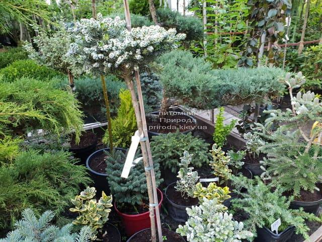 Хвойні і вічнозелені рослини ФОТО Розплідник рослин Природа (12)