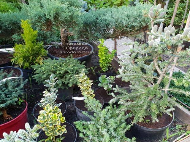 Хвойні і вічнозелені рослини ФОТО Розплідник рослин Природа (13)