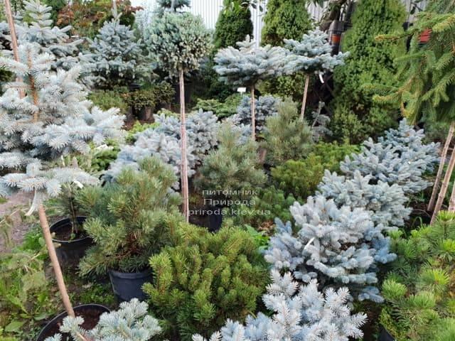 Хвойні і вічнозелені рослини ФОТО Розплідник рослин Природа (16)