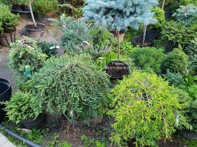 Хвойні і вічнозелені рослини ФОТО Розплідник рослин Природа (17)