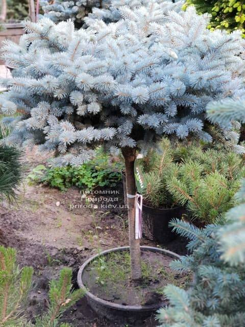 Ялина Глаука Глобоза ФОТО Розплідник рослин Природа (18)