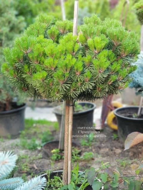 Сосна гірська на штамбі ФОТО Розплідник рослин Природа (21)