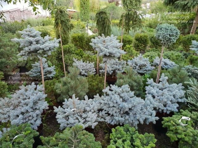 Хвойні і вічнозелені рослини ФОТО Розплідник рослин Природа (22)