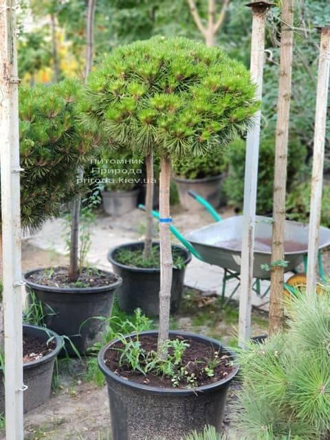 Сосна гірська на штамбі ФОТО Розплідник рослин Природа (23)