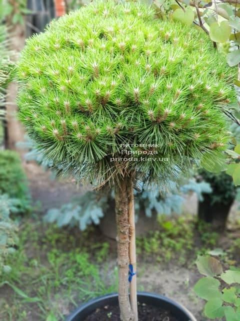 Сосна гірська на штамбі ФОТО Розплідник рослин Природа (25)
