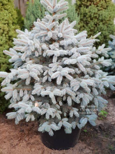 Ялина блакитна ФОТО Розплідник рослин Природа (26)