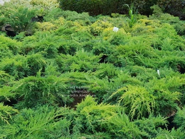 Ялівці ФОТО Розплідник рослин Природа (28)