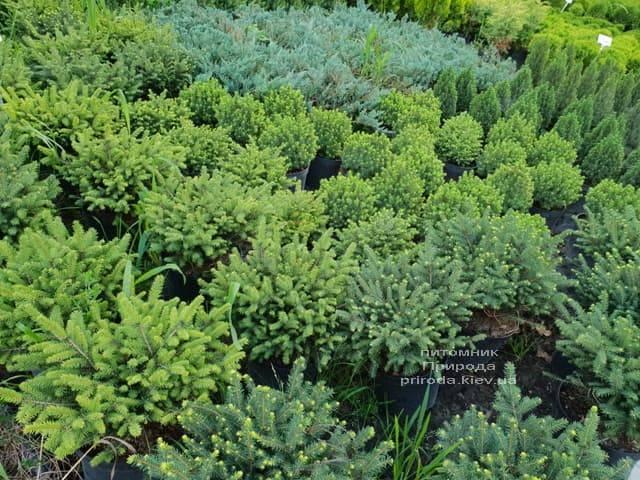Хвойні рослини ФОТО Розплідник рослин Природа (32)