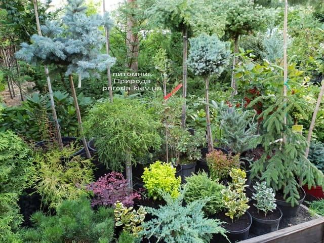 Хвойні і вічнозелені рослини ФОТО Розплідник рослин Природа (4)