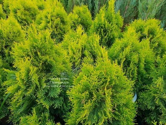Туя Джанед Голд (Голден Смарагд) ФОТО Розплідник рослин Природа (40)