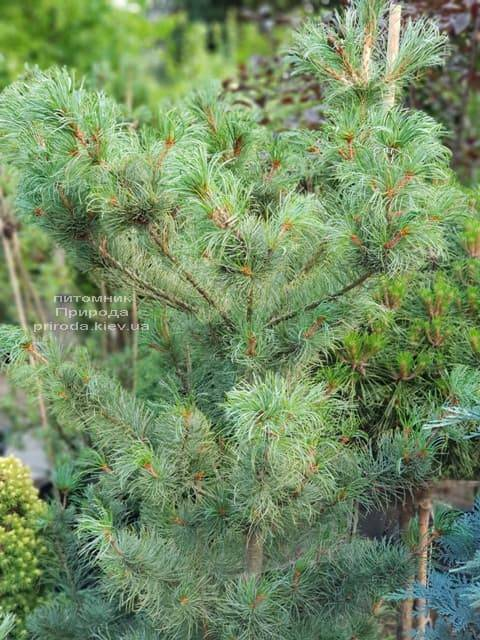 Сосна мелкоцветковая ФОТО Розплідник рослин Природа (44)