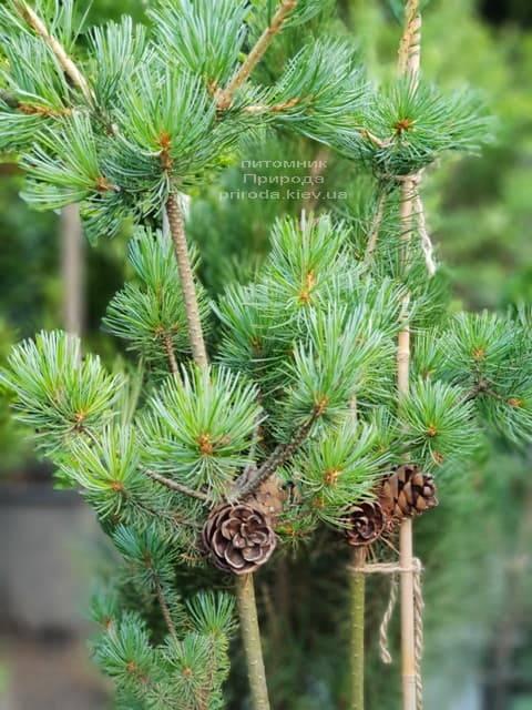 Сосна мелкоцветковая ФОТО Розплідник рослин Природа (45)